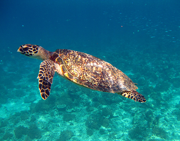 gili air sea turtle