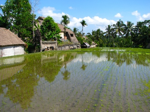 houses and rice fields
