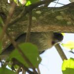 Sloth - Puerto Viejo, Costa Rica