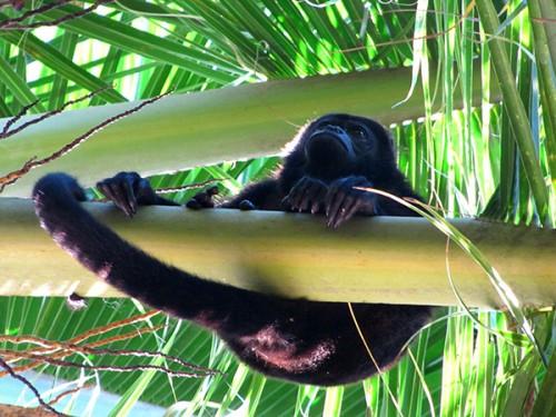 Howler Monkey - Manzanillo, Costa Rica
