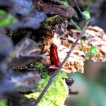 Red Frog - Gandoca-Manzanillo Wildlife Reserve