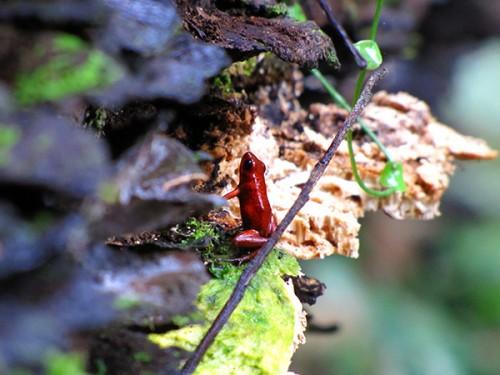 Red Frog - Gandoca-Manzanillo Wildlife Reserve