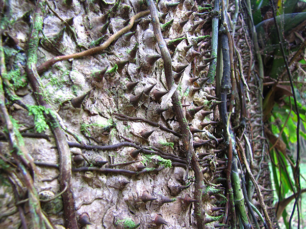 Spiked Tree - Gandoca-Manzanillo Wildlife Reserve