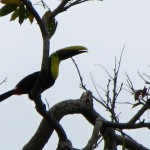 Toucan - Manzanillo, Costa Rica