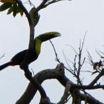 Toucan - Manzanillo, Costa Rica