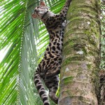 Margay - Jaguar Rescue Center