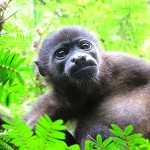 Howler monkey - Jaguar Rescue Center