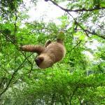 Sloth - Jaguar Rescue Center