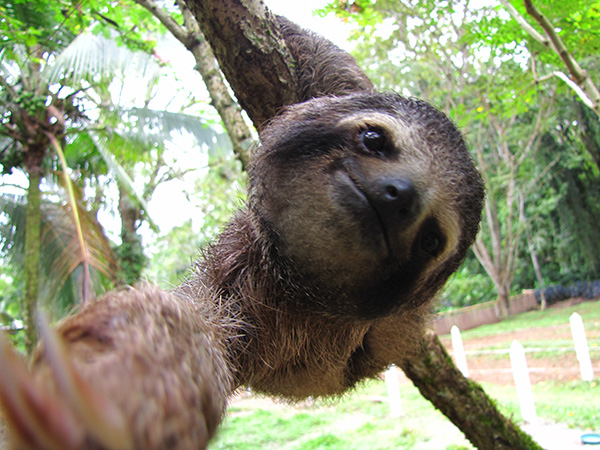 Sloth - Jaguar Rescue Center
