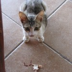 Stray Cat West Bay Roatan