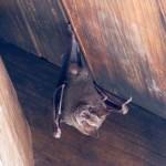 bat_roatan2