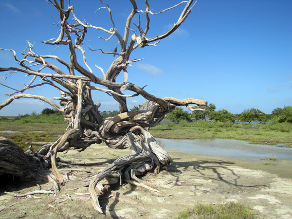 Dead tree - Bonaire