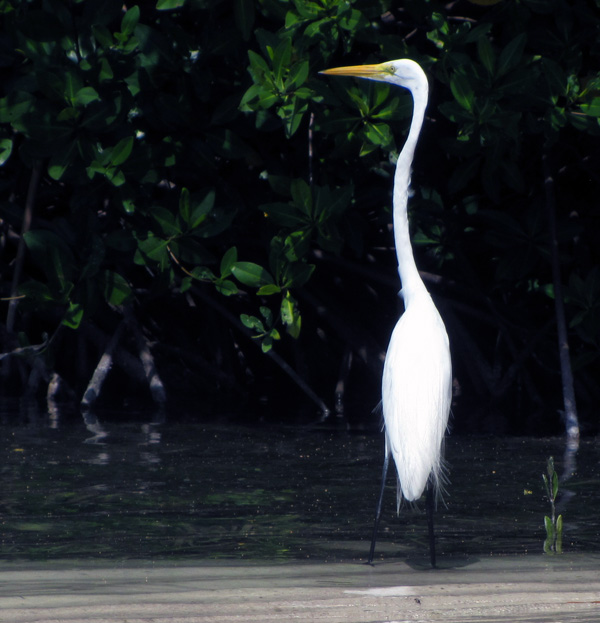 Egret at Cai, Bonaire