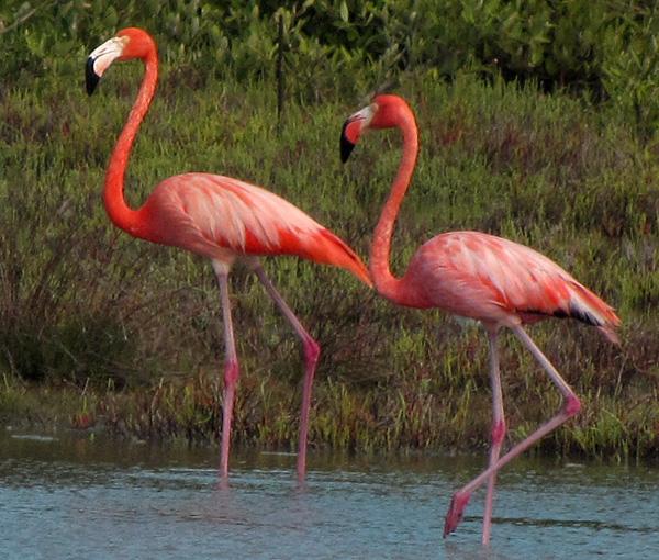 Flamingos - Bonaire