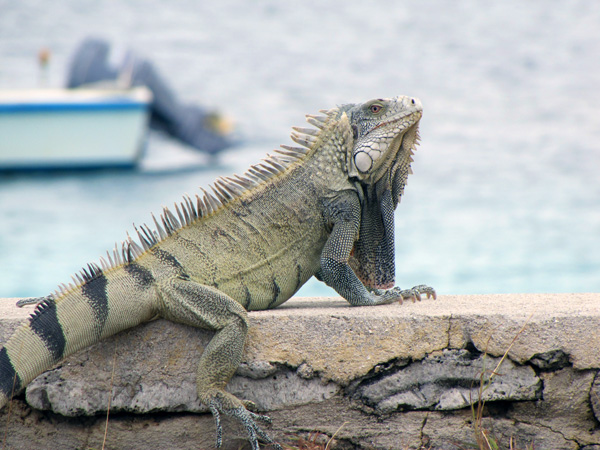 Bonaire iguana