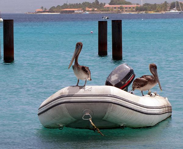 Pelicans - Kralendijk, Bonaire