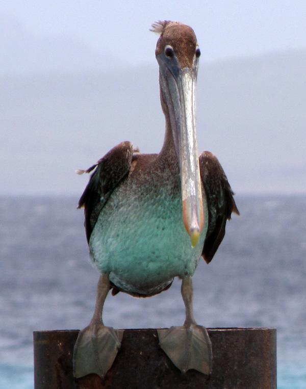 Pelican - Kralendijk, Bonaire