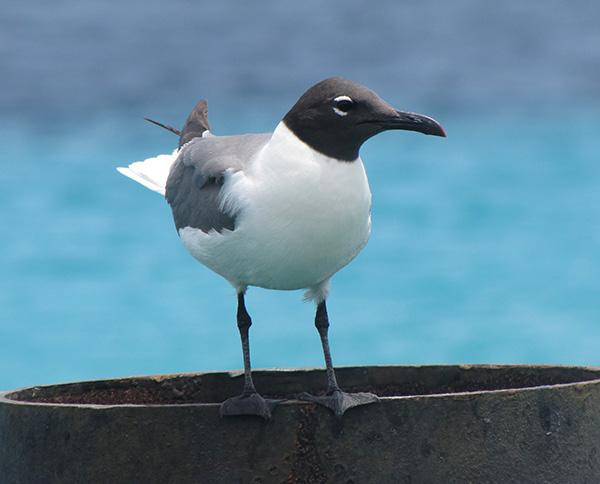 Bird - Kralendijk, Bonaire