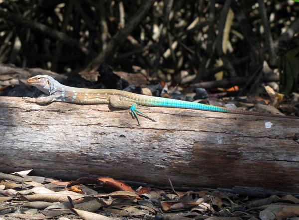 Lizard - Bonaire