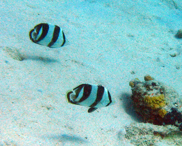 Banded Butterflyfish - Bonaire