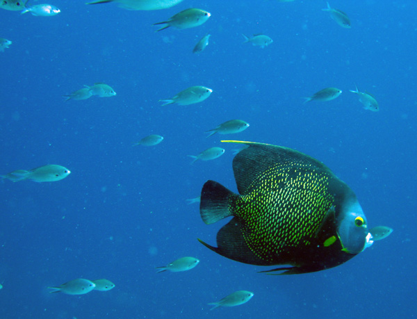 French Angelfish - Bonaire