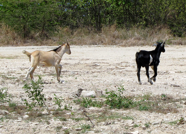 Wild Goats - Bonaire