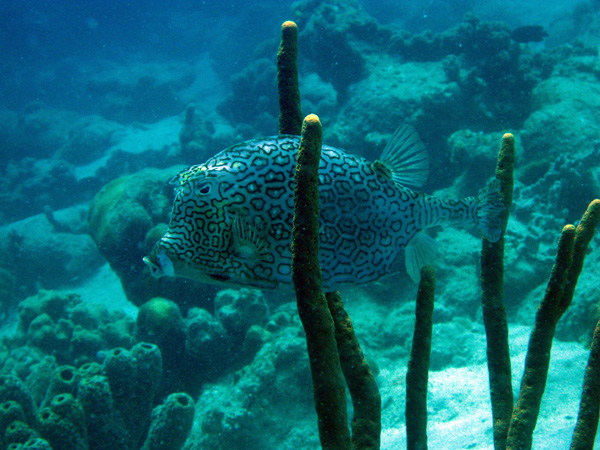 Honeycomb Cowfish - Bonaire